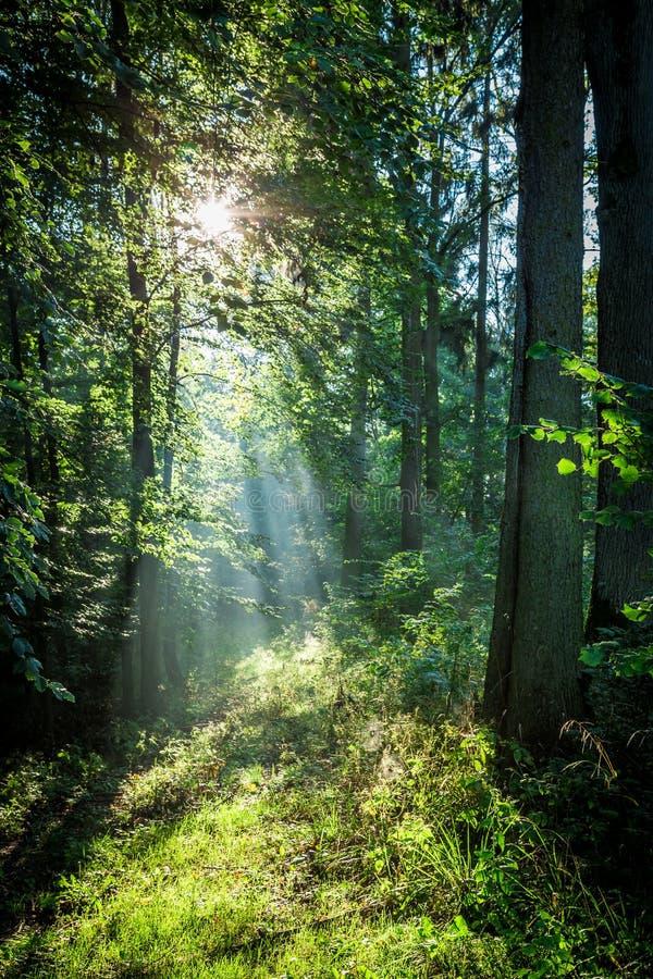 Salida del sol en el bosque verde en verano, Polonia foto de archivo
