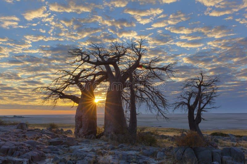 Salida del sol en el ` s del baobab del ` s de la isla de Kubu fotografía de archivo libre de regalías