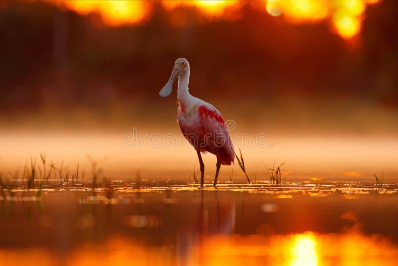Salida del sol hermosa con el pájaro, ajaja del Platalea, Spoonbill rosado, en el contraluz del sol del agua, retrato del detalle imagen de archivo libre de regalías