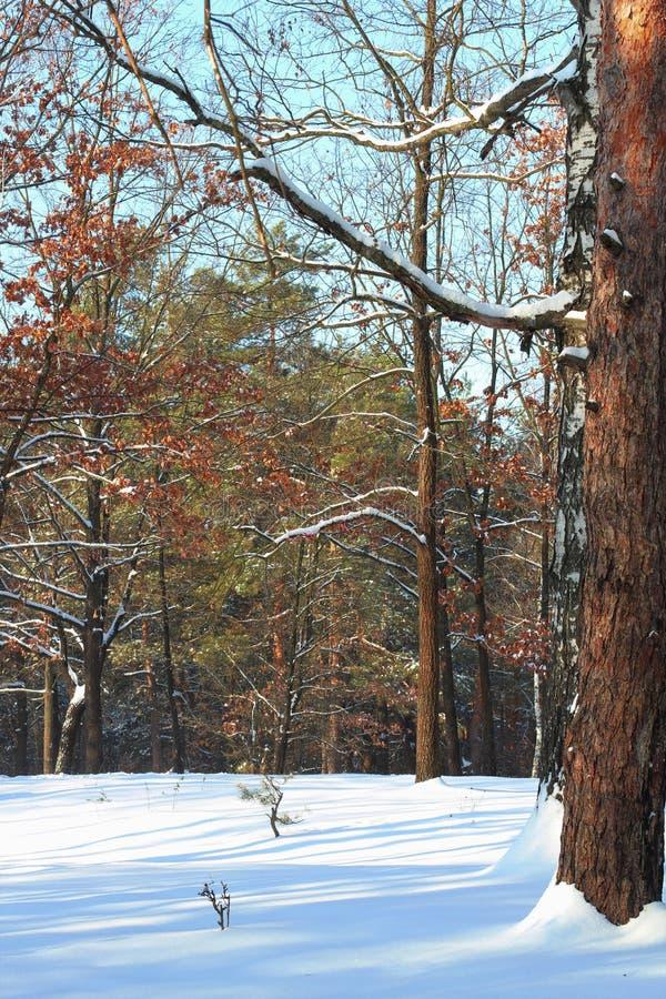 Salida del sol hermosa de la puesta del sol en el brillo de Sunny Winter Snowy Forest Sun sobre el bosque del invierno Ciérrese p foto de archivo
