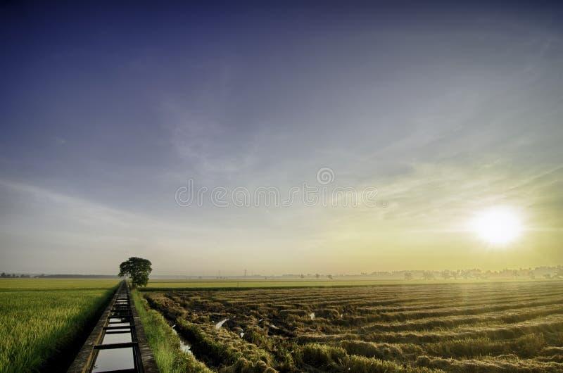 Salida del sol hermosa en el campo de arroz amarillo antes de cosechar espacio vacío a la derecha solo árbol y canal concreto del imagen de archivo