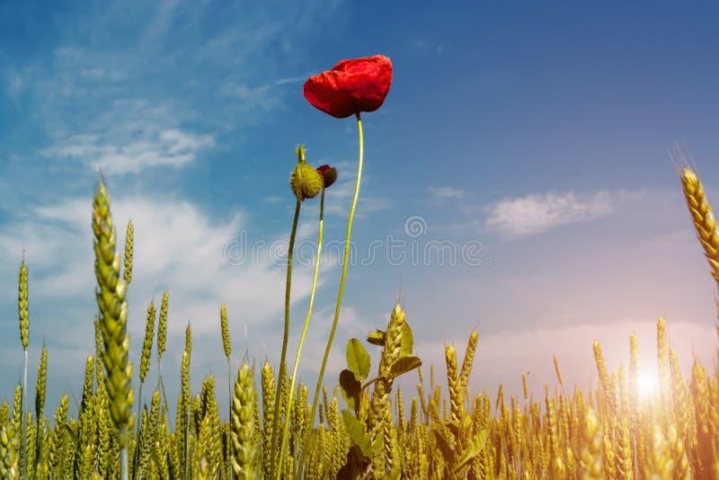 Salida del sol hermosa sobre el campo del trigo con las flores rojas brillantes de las amapolas imagen de archivo libre de regalías