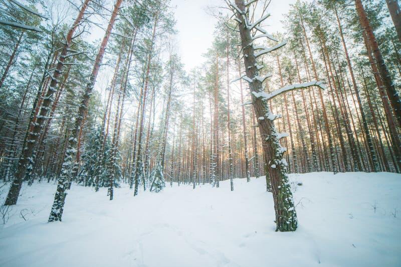 Salida del sol del invierno en bosque nevoso fotos de archivo