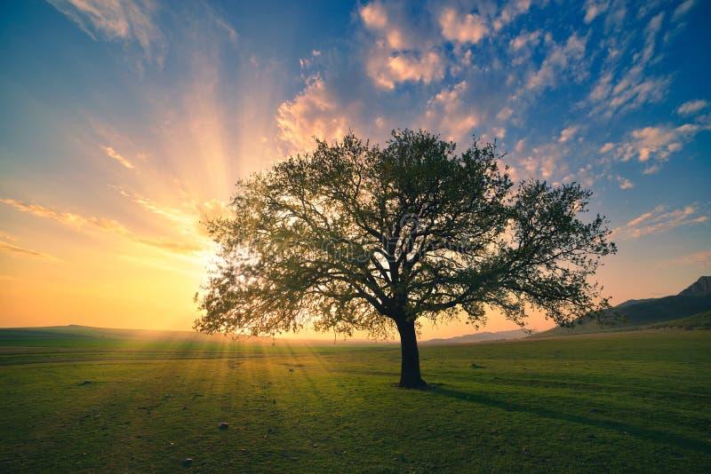 Salida del sol mágica con los rayos calientes del sol, el prado verde y el árbol grande fotografía de archivo libre de regalías