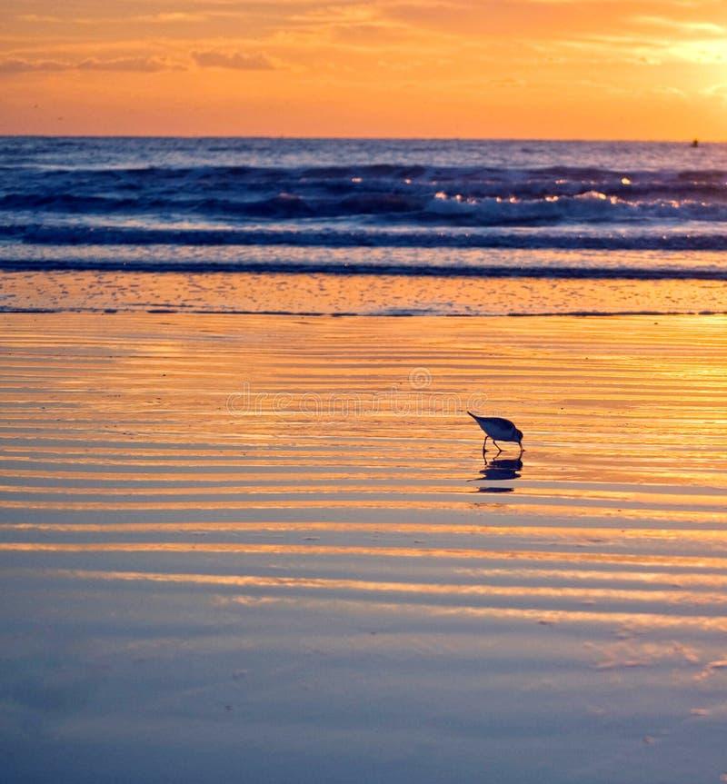 Salida del sol del pájaro de la playa de la Florida fotos de archivo