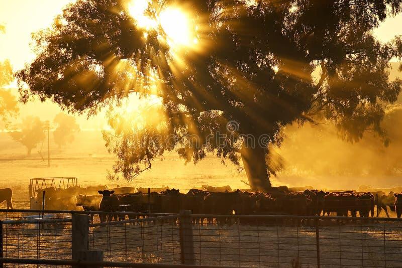salida del sol rural del ganado de la escena   fotos de archivo libres de regalías
