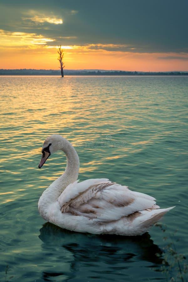 Salida del sol y cisne del oro fotografía de archivo