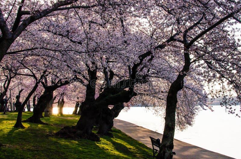 Salida del sol y flores de cerezo de DC imagen de archivo