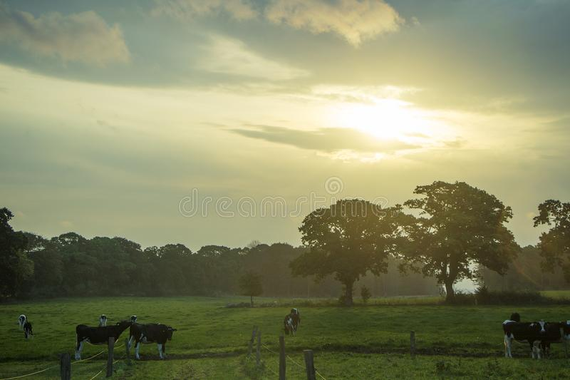 Salida del sol y vacas imágenes de archivo libres de regalías