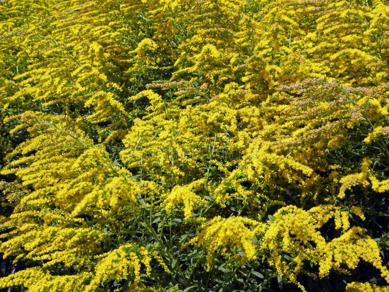 Salidago canadensis, Zagreb botanisk trädgård arkivbild