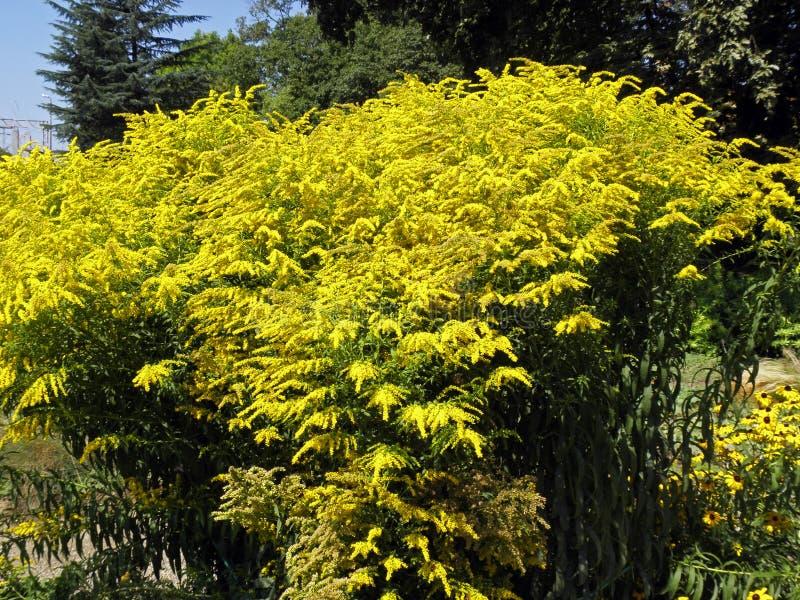 Salidago canadensis, Zagreb botanisk trädgård royaltyfri fotografi
