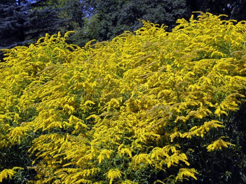 Salidago canadensis, Zagreb botanisk trädgård arkivfoton