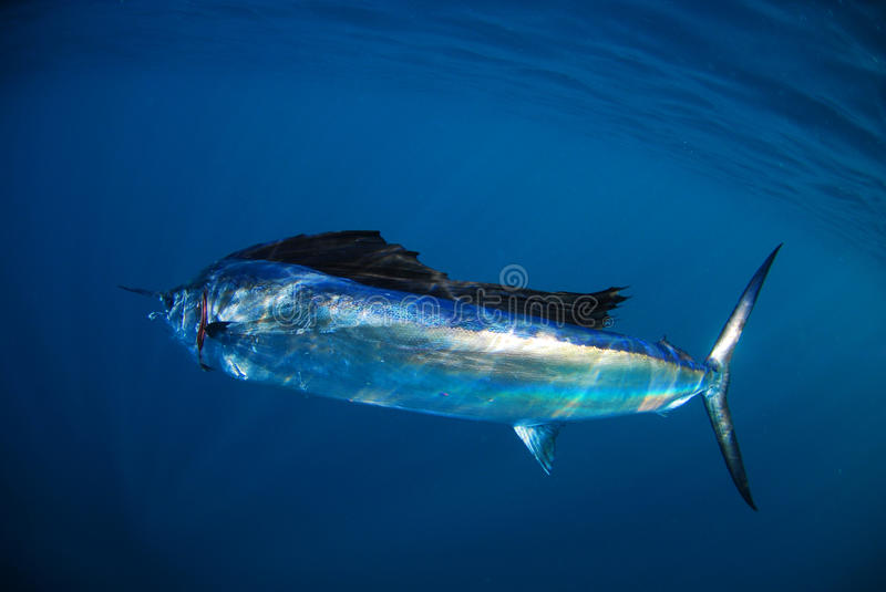 Salifish in ocean stock image