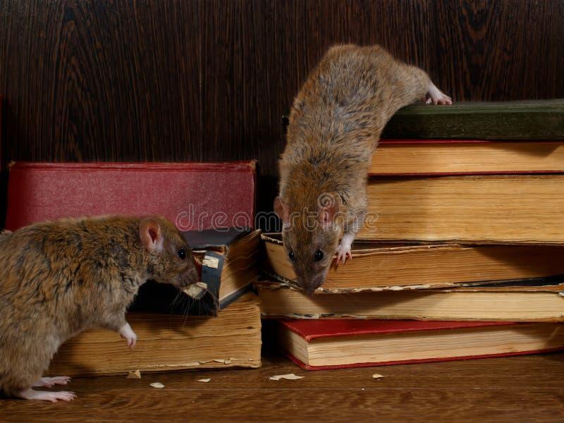Salite del ratto del primo piano due sui vecchi libri sulla pavimentazione nella biblioteca immagini stock libere da diritti