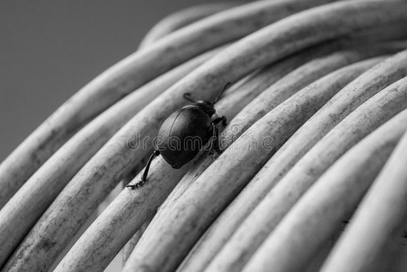 Salite dello scarabeo immagine stock libera da diritti