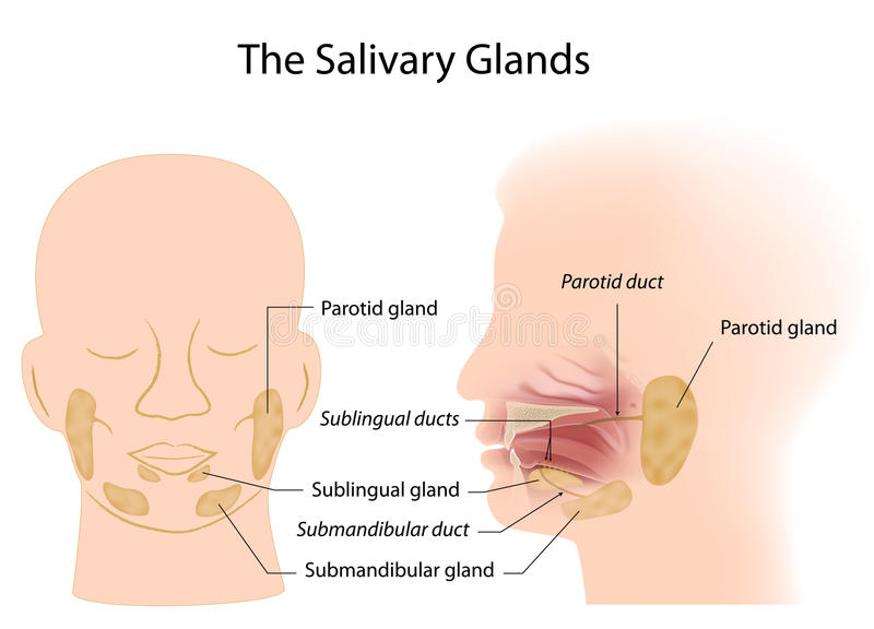 Salivary glands stock illustration
