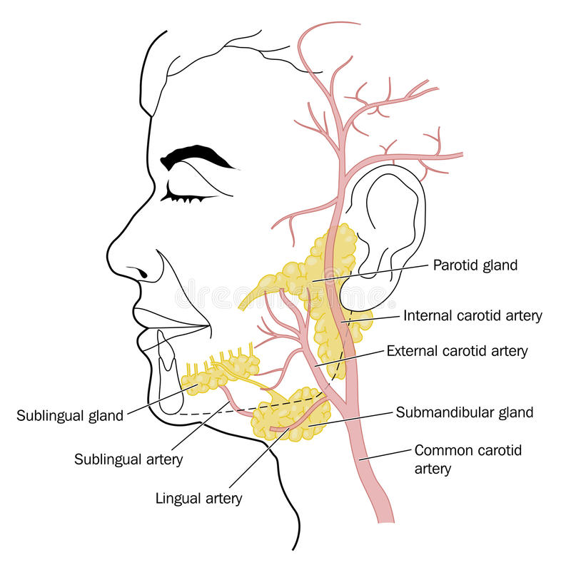 Free Salivary Glands And Blood Supply Stock Images - 52625454