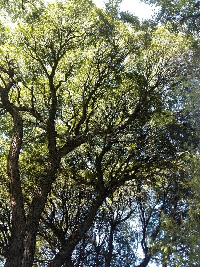 Salix fotografia stock
