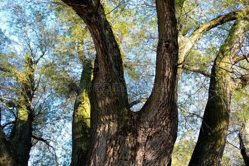Salix alba foto de stock royalty free