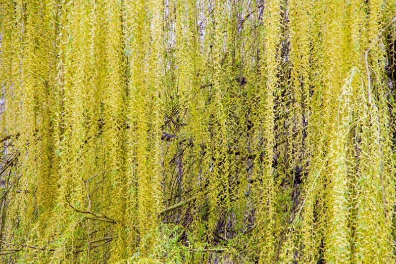 Willow tree treetop blossom stock photos
