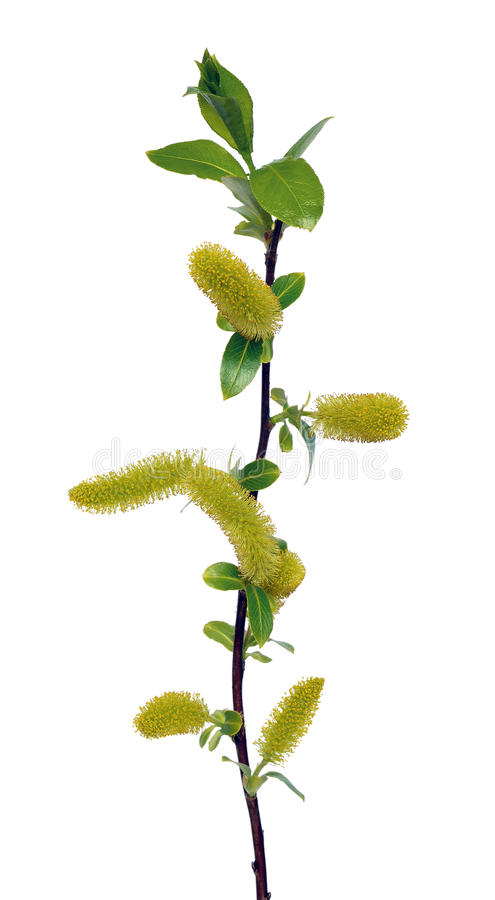 Salix branch isolated. On white background stock image