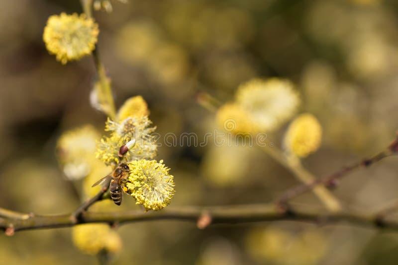 Salix caprea - zbliżenie kolor żółty kwitnie na gałąź wierzba fotografia stock