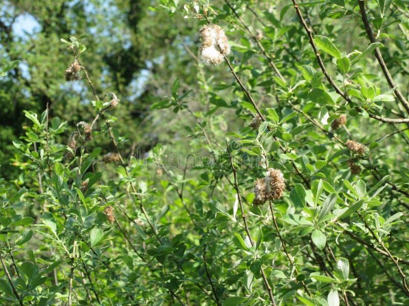 Salix del árbol del Salix Cinerea con las semillas minúsculas integradas en el plumón algodonoso blanco que las ayudas enrollan l fotografía de archivo libre de regalías