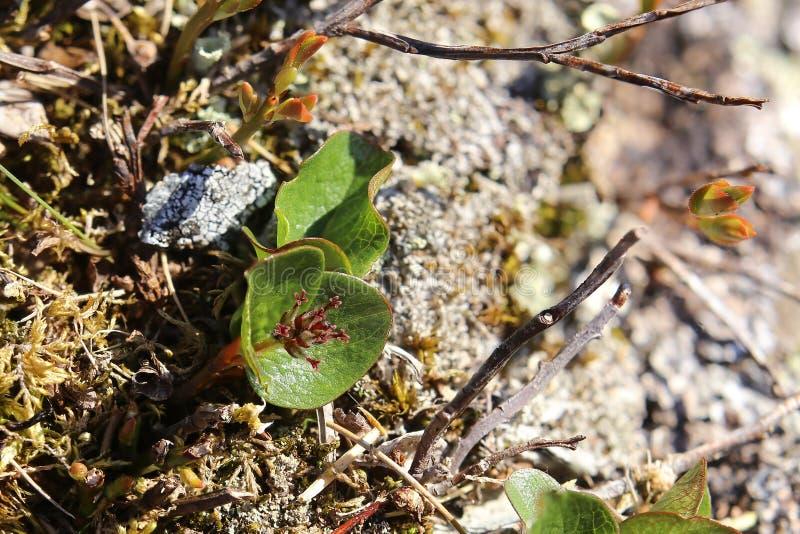 Salix polaris biegunowa wierzba na kamieniu, zdjęcie royalty free