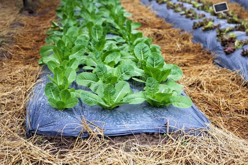 Salladskördgrönsaken växer på jord, jordbruk arkivbilder