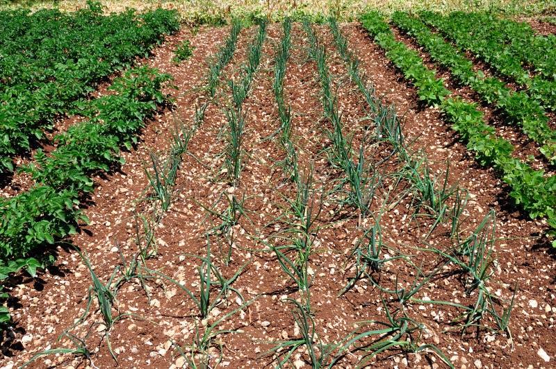 Download Salladslökar Som Planteras I Ett Fält Arkivfoto - Bild av tillväxt, jordning: 27283746