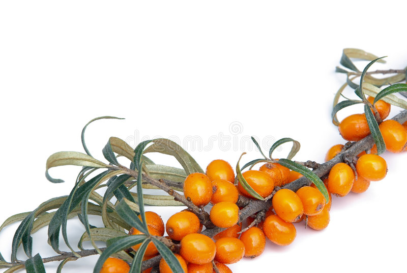 Sallow Dorn 05 lizenzfreies stockfoto