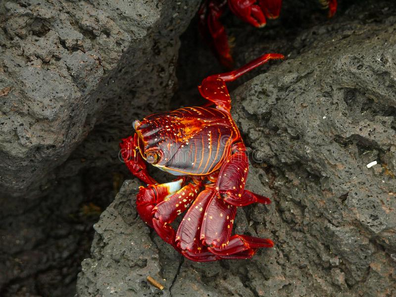 Sally Light Foot Crab lizenzfreie stockfotografie