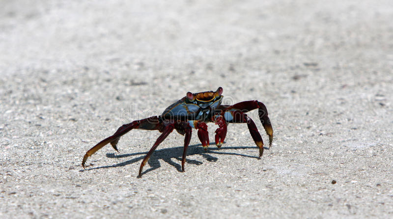 Sally Light Foot Crab On Galapagos Islands Royalty Free Stock Photography