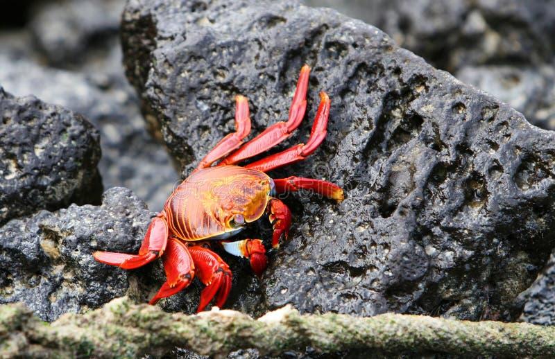 Sally Lightfoot Crab stock fotografie