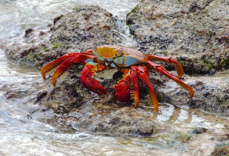 Sally Lightfoot Crab photos libres de droits