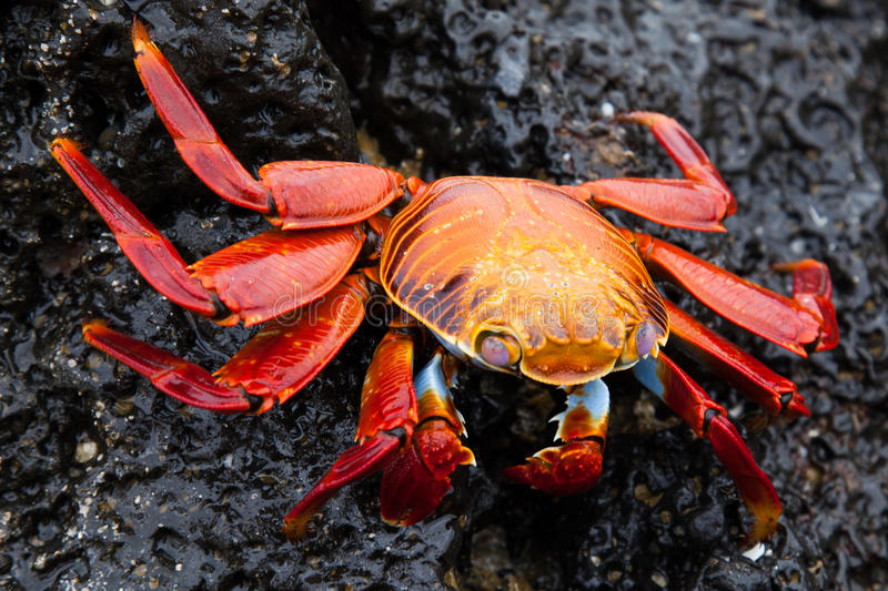 Sally lightfoot crab on a black lava rock stock photography