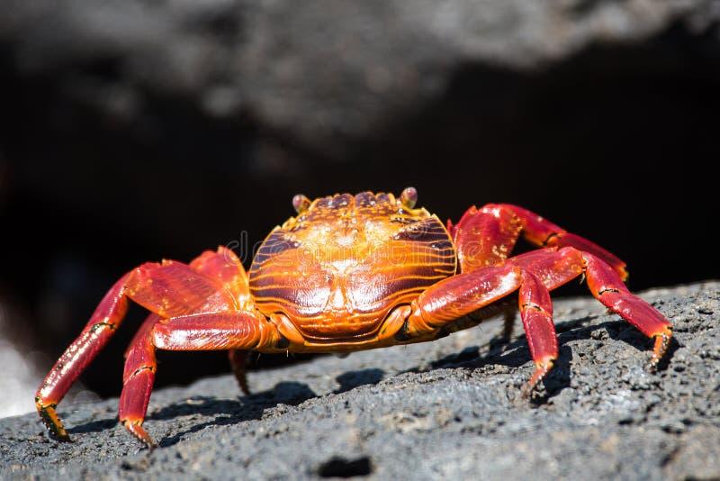Sally Lightfoot Crab colorata immagine stock