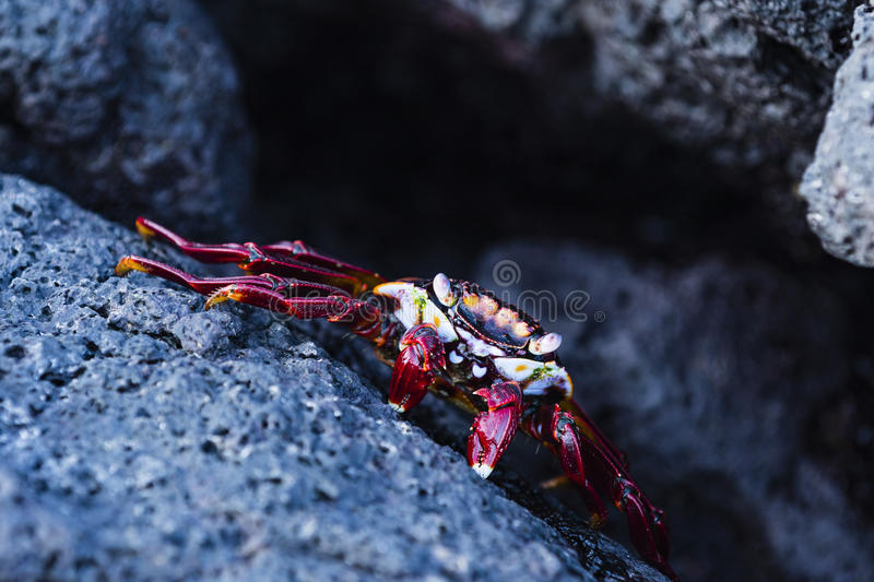 A Sally Lightfoot Crab on lava rock stock photography