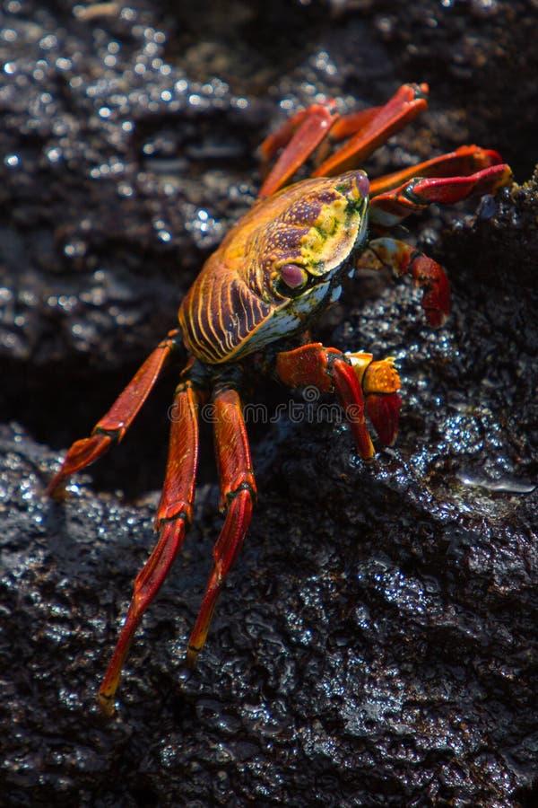 Sally Lightfoot Crab oder rote Felsen-Krabbe, Galapagos-Inseln lizenzfreie stockfotografie