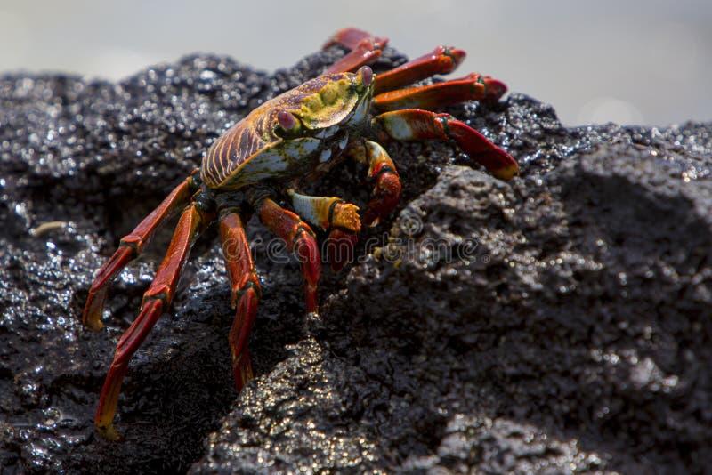 Sally Lightfoot Crab oder rote Felsen-Krabbe, Galapagos-Inseln lizenzfreie stockfotos