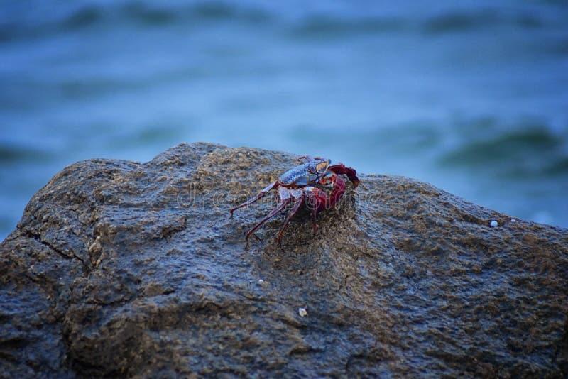 Sally Lightfoot Crab oder rote Felsenkrabbe, wissenschaftliches Name Grapsus-grapsus auf Felsen in Puerto- Vallartajachthafen, Me lizenzfreies stockbild