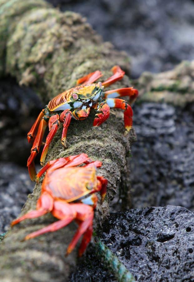 Sally Lightfoot Crabs stock foto's