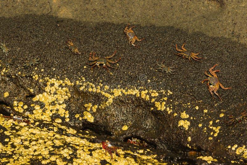 Sally Lightfoot Crabs na rocha molhada imagens de stock