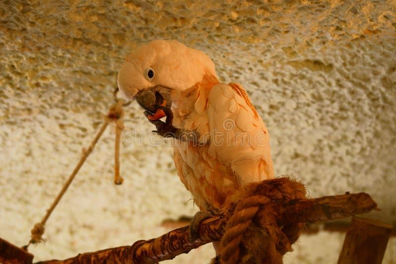 Salmões - Cockatoo com crista foto de stock royalty free