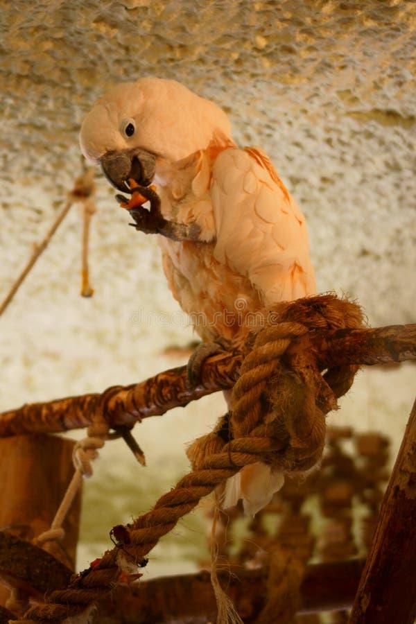 Salmões - Cockatoo com crista fotos de stock royalty free