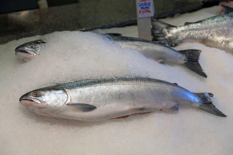 Salmões de Sockeye frescos travados pesca à corrica no gelo imagens de stock royalty free