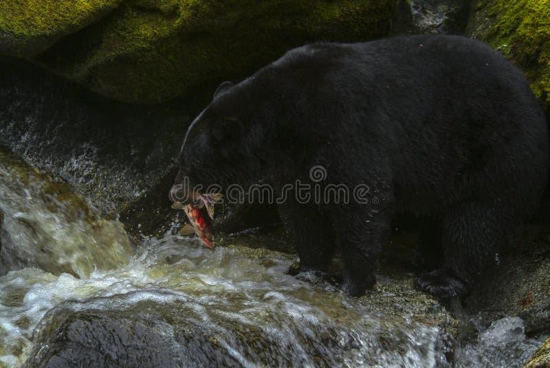 Salmões do Alasca da caça do urso preto em um rio fotografia de stock