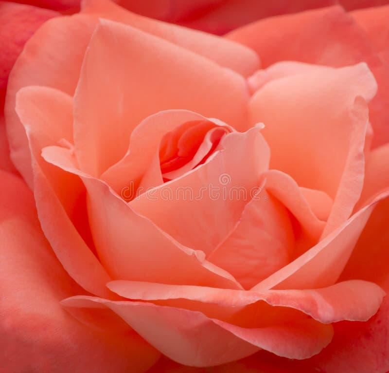 Salmon пинк Роза стоковая фотография
