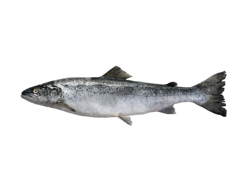 Salmon рыбы изолированные на белизне стоковые фотографии rf