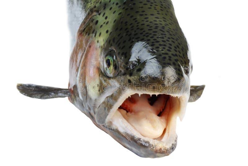 Salmon рыбы стоковое изображение